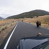A bison stops cars along the highway at Yellowstone National Park