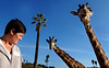 "Giraffes were part of the tour at the San Diego Wild Animal Park ""Night Moves"" tour."