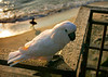 A parrot perches on the railing as the sun sets in Laguna Beach.