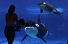 Killer Whales from SeaWorld in San Diego, respond to a patron holding up a stuffed animal,  baby whale.