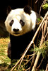 Hua Mei the Panda, born at the San Diego Zoo, peeks out of her habitat  to look back at the hundreds of vistors who lined up to take pictures and get a last look at her since she will be permanently transported to China by Fall.