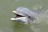 Dolphin in the wild in Calibogue Sound off Hilton Head Island, South Carolina.