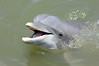 Dolphin in the wild in Calibogue Sound off Hilton Head Island, South Carolina.