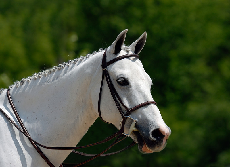 Horse in reins at horse show.