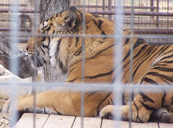 Tiger - 4