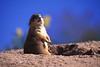Prairie Dog in the wild in South Dakota..