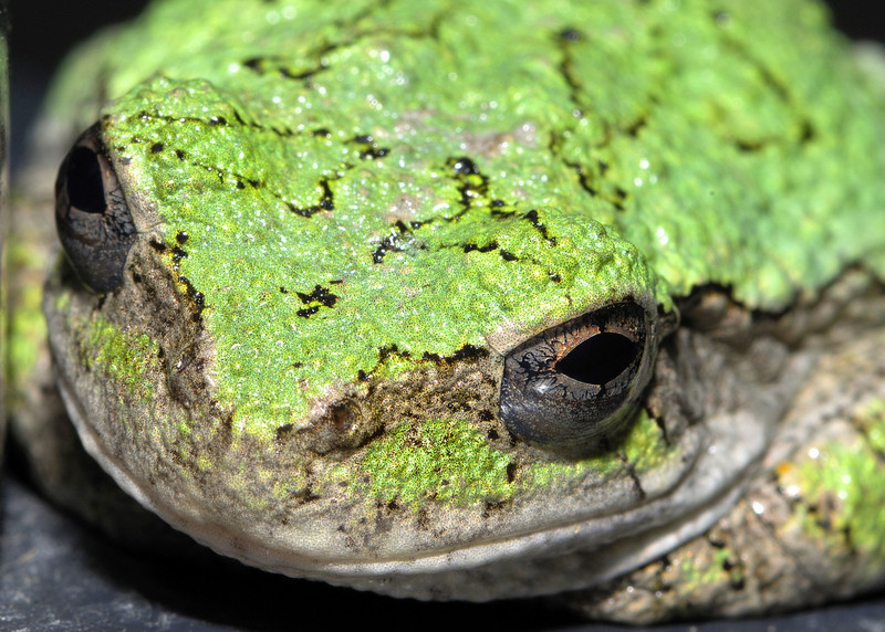 Wild toad close-up.