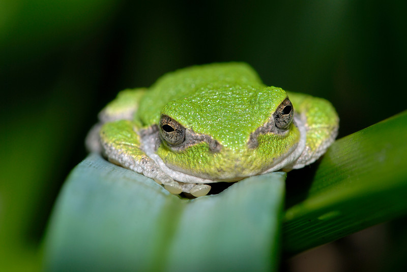 Tree frog resting on leaf