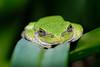 Tree frog resting on leaf