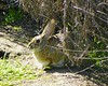 Bunny in the Wetlands