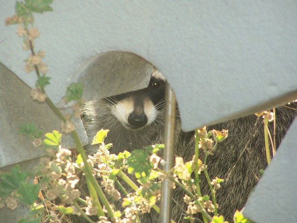 Raccoon - peeking