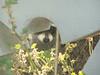 Raccoon - peeking