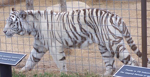 Siberian Tiger - 2