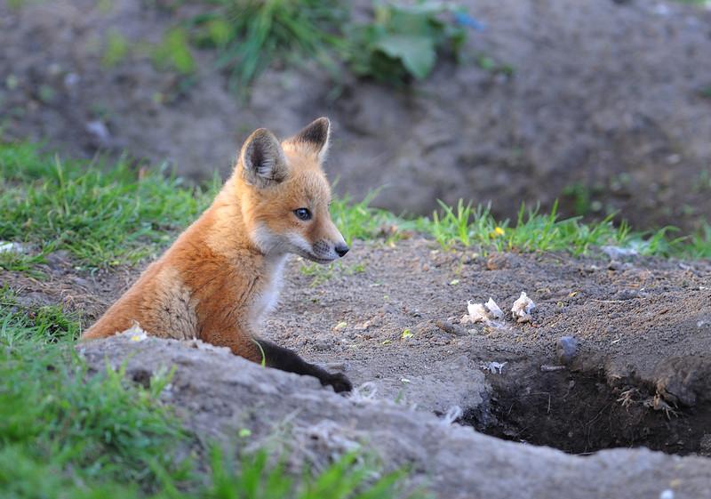 Kit fox in the wild at Veterans Park; Sheridan, Indiana.