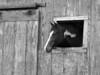 Horse peers through window in old 19th Century barn.