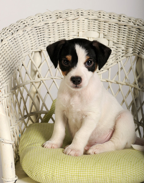 Bisbee, a Jack Russell Terrier
