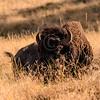 Bison @ National Bison Reserve