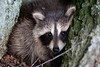 Baby raccoon nestled in tree trunk in the wild...