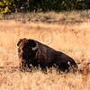 Lazy summer days for the Bison @ the National Bison Range, Charlo, MT
