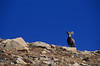 Mountain Goat looking over mountaintop in Colorado.