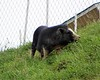 This porcine creature is eating the grass on the side of the rode in Mira Loma. I saw no humans in the area.