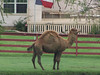 "A one hump camel is a ""Dromedary""."