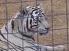 Siberian Tiger - 1
