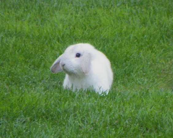 White Bunny in the Grass