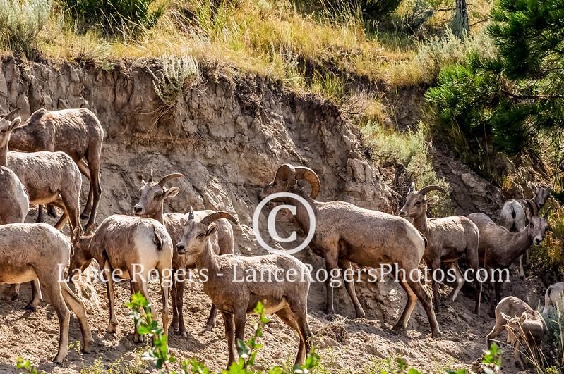 Bighorns Gates of the Mountain, Montana