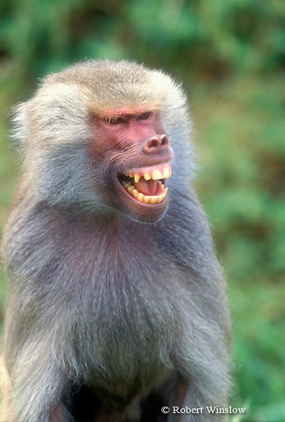Hamadryas Baboon (Papio hamadryas) Northeastern Sudan to South Central Somalia, Controlled Conditions