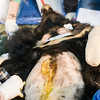 "The vet team shave Xuan Xuan's abdomen to get a better look at the fistula from which the bile had been extracted. In this bear's case, this was only her most recent mutilation; the team found scarring from a second fistula that had previously healed over.<br /> <br /> All print proceeds go to Animals Asia, who rescued these moon bears.<br />  <a href=""http://www.animalsasia.org"">http://www.animalsasia.org</a>"