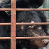 "With Katie moved, inspected and taken off to quarantine, Shamrock was the next bear that could be moved the most safely. <br /> <br /> All print proceeds go to Animals Asia, who rescued these moon bears.<br />  <a href=""http://www.animalsasia.org"">http://www.animalsasia.org</a>"