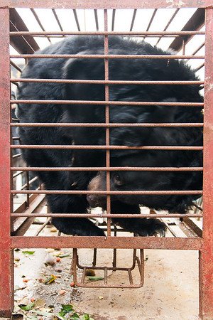 "The last bear, Mac, was also stressed by the journey, and had just enough space to pace up and down her cage.<br /> <br /> All print proceeds go to Animals Asia, who rescued these moon bears.<br />  <a href=""http://www.animalsasia.org"">http://www.animalsasia.org</a>"