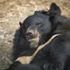 "Now that this moon bear was rescued, his biggest worry in life is having his sleep disturbed by roving photographers.<br /> <br /> All print proceeds go to Animals Asia, who rescued these moon bears.<br />  <a href=""http://www.animalsasia.org"">http://www.animalsasia.org</a>"