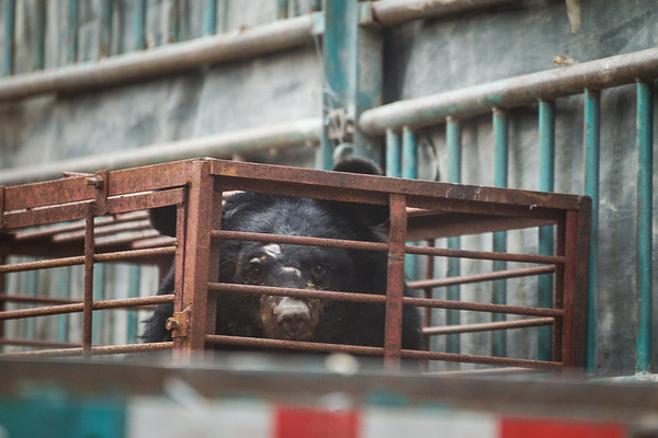 "As the bears arrived we got our first glimpse in the back of the truck.<br /> <br /> All print proceeds go to Animals Asia, who rescued these moon bears.<br />  <a href=""http://www.animalsasia.org"">http://www.animalsasia.org</a>"