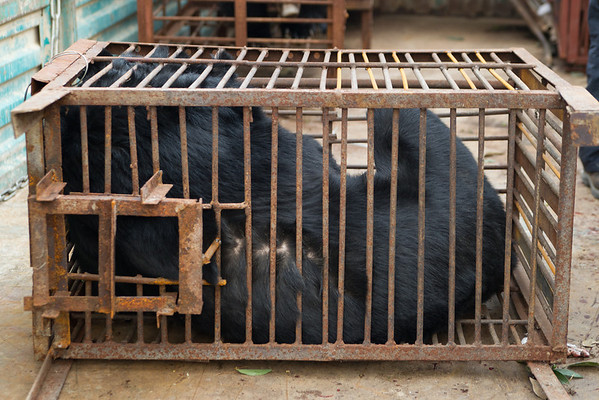 "The third bear off the truck was Peter, named after his sponsor, the British actor Peter Egan. Peter the bear was in the smallest cage of all 6 bears and had been unable to stand, or even turn, for many years.<br /> <br /> All print proceeds go to Animals Asia, who rescued these moon bears.<br />  <a href=""http://www.animalsasia.org"">http://www.animalsasia.org</a>"