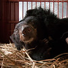 "While she was sedated and examined, the vet team took the time to remove some of the matted fur on Shamrock's face.<br /> <br /> All print proceeds go to Animals Asia, who rescued these moon bears.<br />  <a href=""http://www.animalsasia.org"">http://www.animalsasia.org</a>"