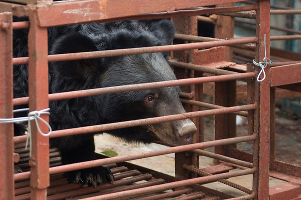 "Katie was nearest the doors and so was first off the truck. The cages were old and rusting, so for safety reasons the team at Animals Asia secure them with wire. Once they are checked and given the ok, they can be moved.<br /> <br /> All print proceeds go to Animals Asia, who rescued these moon bears.<br />  <a href=""http://www.animalsasia.org"">http://www.animalsasia.org</a>"