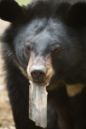 "Not that they're ungrateful, but some bears' favourite activity is destroying the enrichment and trees in their habitats. But that's what they're there for!<br /> <br /> All print proceeds go to Animals Asia, who rescued these moon bears.<br />  <a href=""http://www.animalsasia.org"">http://www.animalsasia.org</a>"