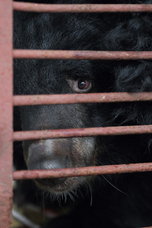 "Although the Animals Asia team were calmy and carefully providing food and water for the bears, Manuka was naturally suspicious of any humans around her cage. After their initial inspections, and having left food and water for all 6, the quarantine area was cleared out and the bears were left to calm down.<br /> <br /> All print proceeds go to Animals Asia, who rescued these moon bears.<br />  <a href=""http://www.animalsasia.org"">http://www.animalsasia.org</a>"