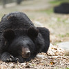 "A gorgeous and contented moon bear with perfect ears, who has forgotten all about her past life before she was rescued.<br /> <br /> All print proceeds go to Animals Asia, who rescued these moon bears.<br />  <a href=""http://www.animalsasia.org"">http://www.animalsasia.org</a>"