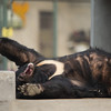 """It's hard work being this lucky.<br /> <br /> All print proceeds go to Animals Asia, who rescued these moon bears.<br />  <a href=""""http://www.animalsasia.org"""">http://www.animalsasia.org</a>"""