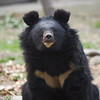 "Sadly, bear had developed eye problems, and there are a few blind bears under Animals Asia's care. All of them get a little bit of special attention, but they are just a quick in finding their hidden food and enrichment using their sense of smell.<br /> <br /> All print proceeds go to Animals Asia, who rescued these moon bears.<br />  <a href=""http://www.animalsasia.org"">http://www.animalsasia.org</a>"