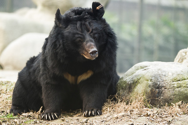 "One of the many happy bears that were also once in the same position as the 6 bears from the New Year Rescue.<br /> <br /> All print proceeds go to Animals Asia, who rescued these moon bears.<br />  <a href=""http://www.animalsasia.org"">http://www.animalsasia.org</a>"