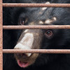 "Bear number 5, Xuan Xuan, was named by Chinese actress Sun Li, who kindly sponsored her. The marks on her head are from repeated and long-term rubbing on the cage bars.<br /> <br /> All print proceeds go to Animals Asia, who rescued these moon bears.<br />  <a href=""http://www.animalsasia.org"">http://www.animalsasia.org</a>"