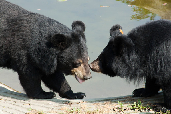 "Jasper and friend, playing at the Animals Asia Bear Rescue Centre in Chengdu, China.<br /> <br /> All proceeds go to Animals Asia, who rescued Jasper.<br /> <a href=""http://www.animalsasia.org/"">http://www.animalsasia.org/</a>"