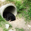 "Another moon bear finds a comfortable place for a nap at the Animals Asia Bear Rescue Centre in Chengdu, China.<br /> <br /> All proceeds go to Animals Asia, who rescued this little one.<br /> <a href=""http://www.animalsasia.org/"">http://www.animalsasia.org/</a>"