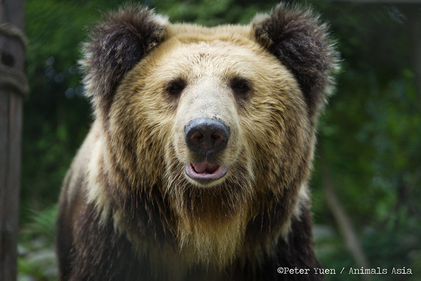 """Poupouce, another Tibetan Brown, strikes her best teddy-bear pose for the camera at the Animals Asia Bear Rescue Centre in Chengdu, China.<br /> <br /> All proceeds go to Animals Asia, who rescued Poupouce.<br /> <a href=""""http://www.animalsasia.org/"""">http://www.animalsasia.org/</a>"""