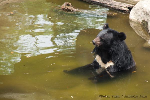 "Rescued bears sometimes become complacent; this moon bear is clearly unimpressed that his jacuzzi has no bubbles.<br /> <br /> All proceeds go to Animals Asia, who rescued this peaceful moon bear.<br /> <a href=""http://www.animalsasia.org/"">http://www.animalsasia.org/</a>"