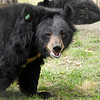 "Many rescued moon bears are missing a paw, usually due to the traps in which they were originally caught.<br /> <br /> All proceeds go to Animals Asia, who rescued this moon bear.<br /> <a href=""http://www.animalsasia.org/"">http://www.animalsasia.org/</a>"